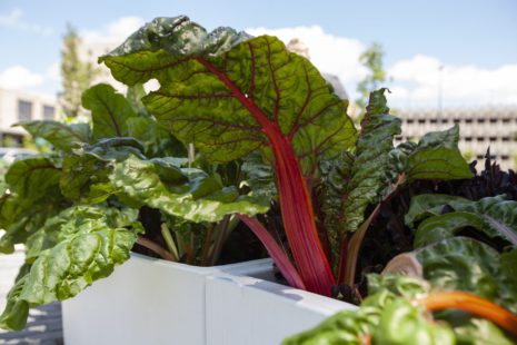 Rhubarb growing in a garden.